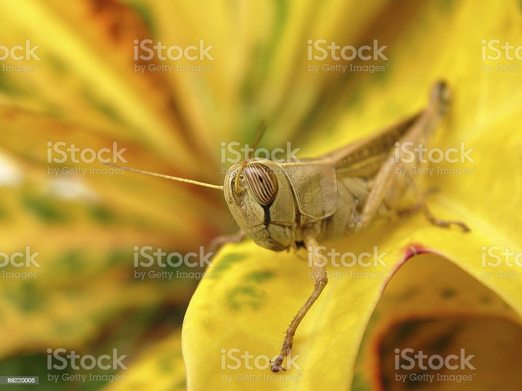 African grasshopper royalty-free stock photo