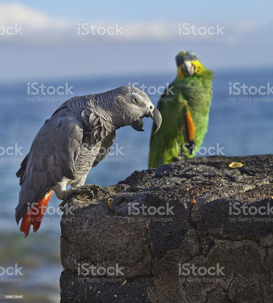 African Grey and Yellow-Crowned Amazon Parrot stock photo