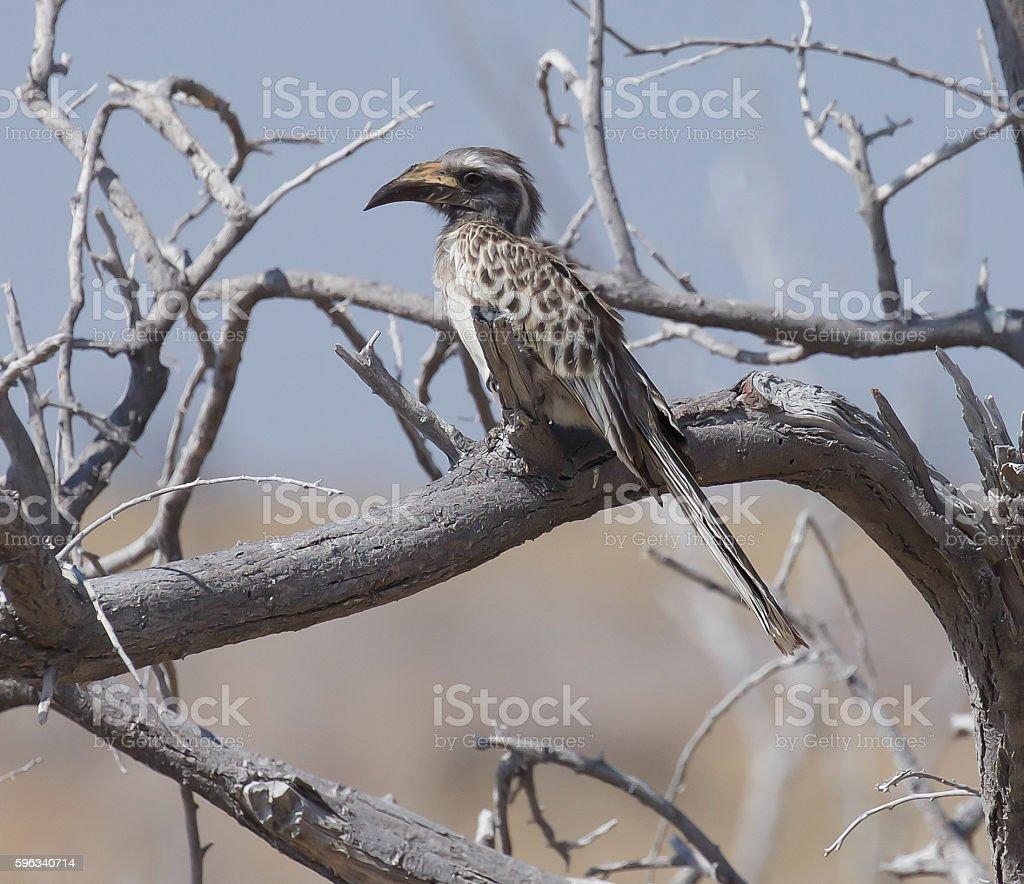 African Grey Hornbill royalty-free stock photo