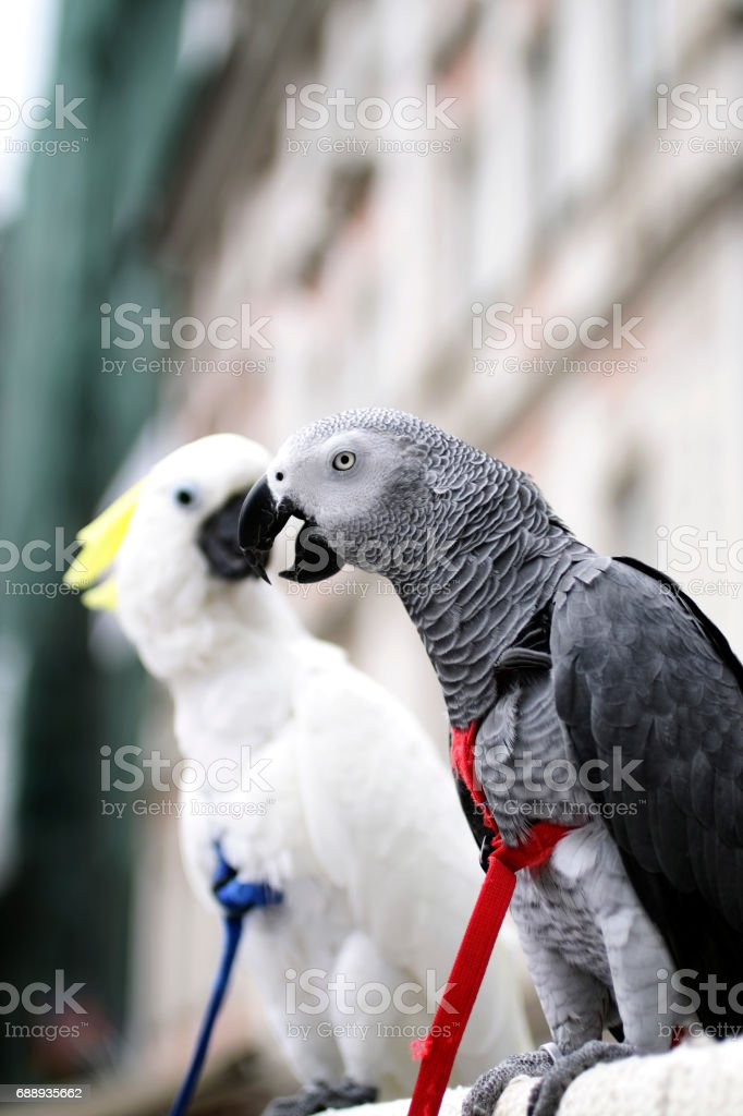 African Grey Parrot and Cockatoo wearing colorful harness with City architecture as blurred out backdrop stock photo