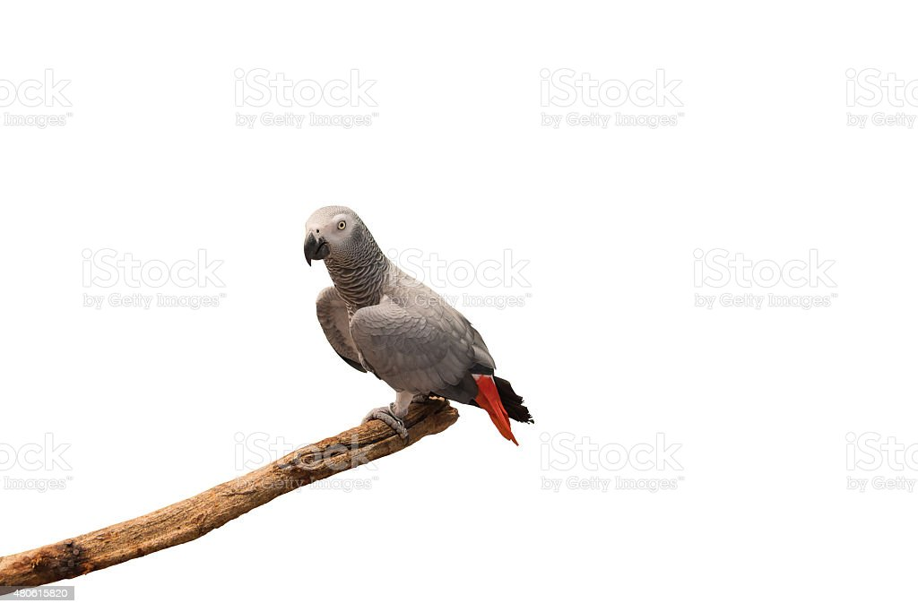 African grey parrot isolated on white background. stock photo