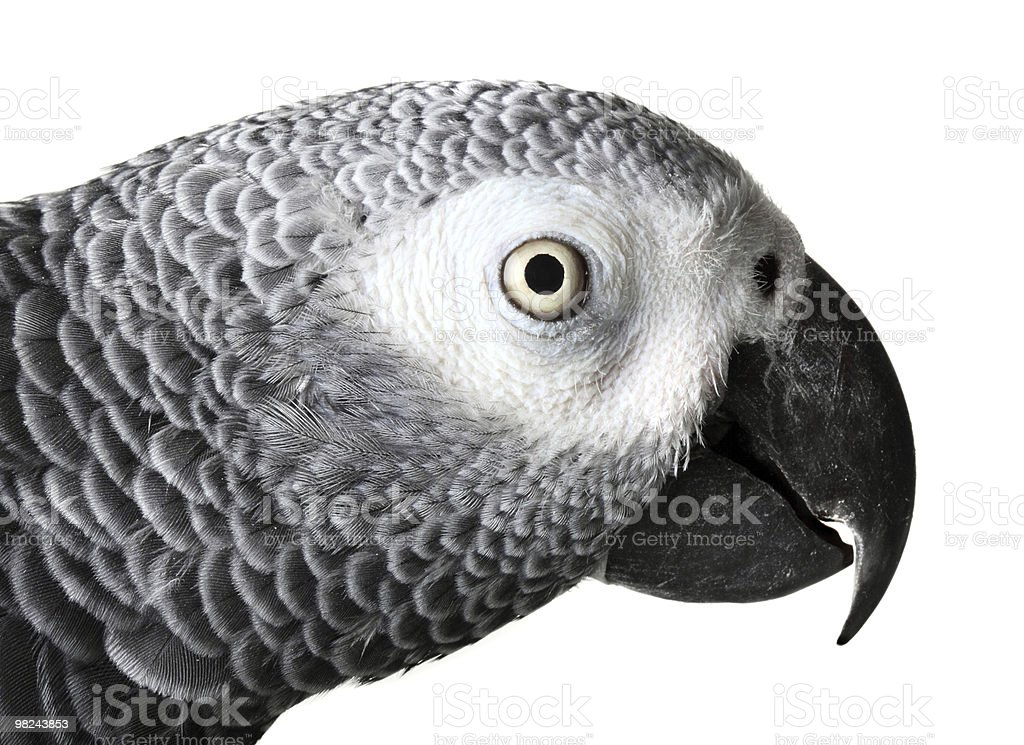 African Grey Parrot isolated on white royalty-free stock photo