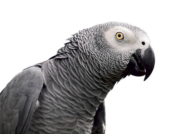 African Grey parrot on a white background stock photo