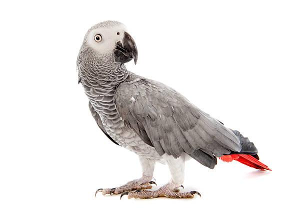 African Grey Parrots Price
