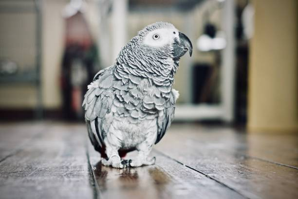 African Grey Parrot Animals concept. African grey parrot on the floor. Young bird at home. parrot stock pictures, royalty-free photos & images