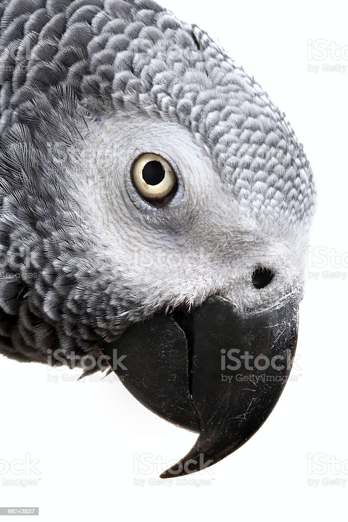 African Grey Parrot royalty-free stock photo