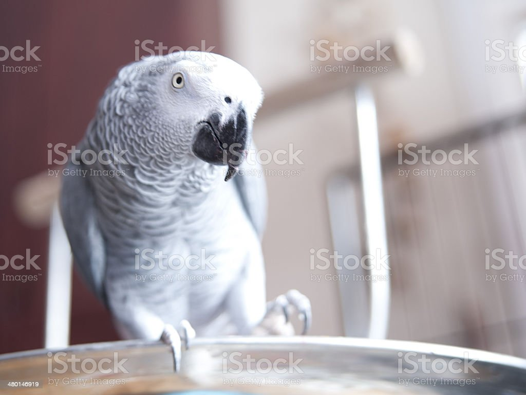 African Grey parrot playing stock photo