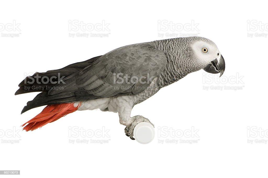 African Grey Parrot - Psittacus erithacus stock photo