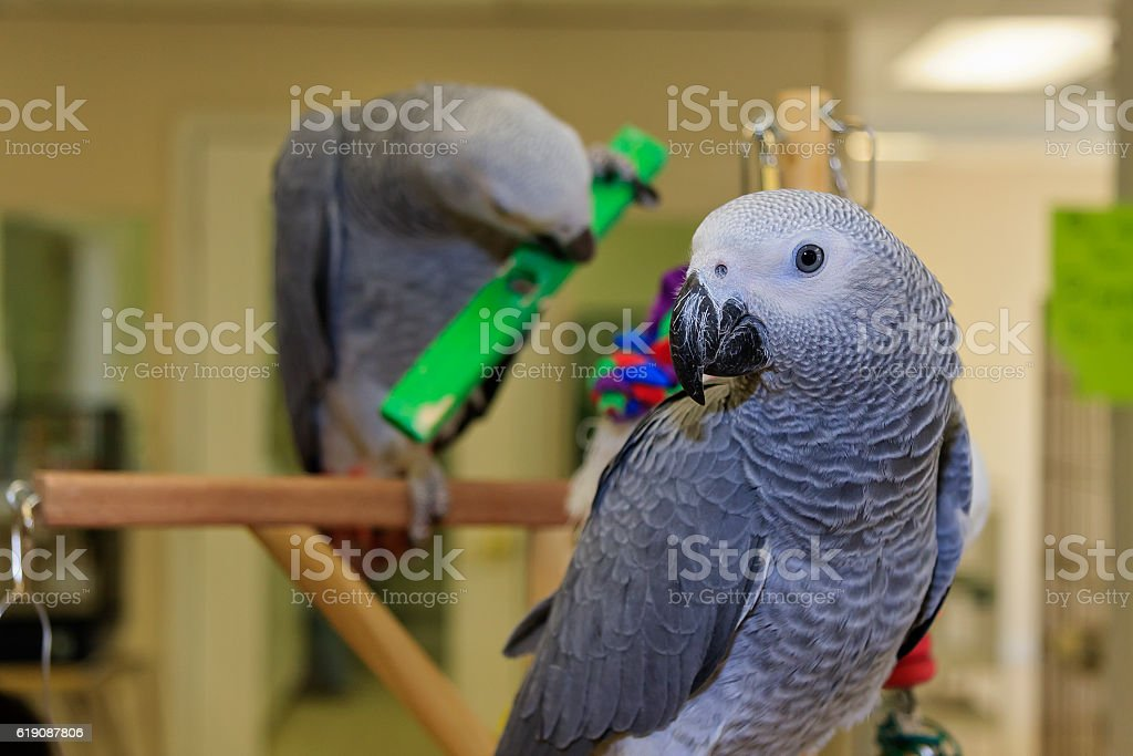 African Grey Parrots stock photo