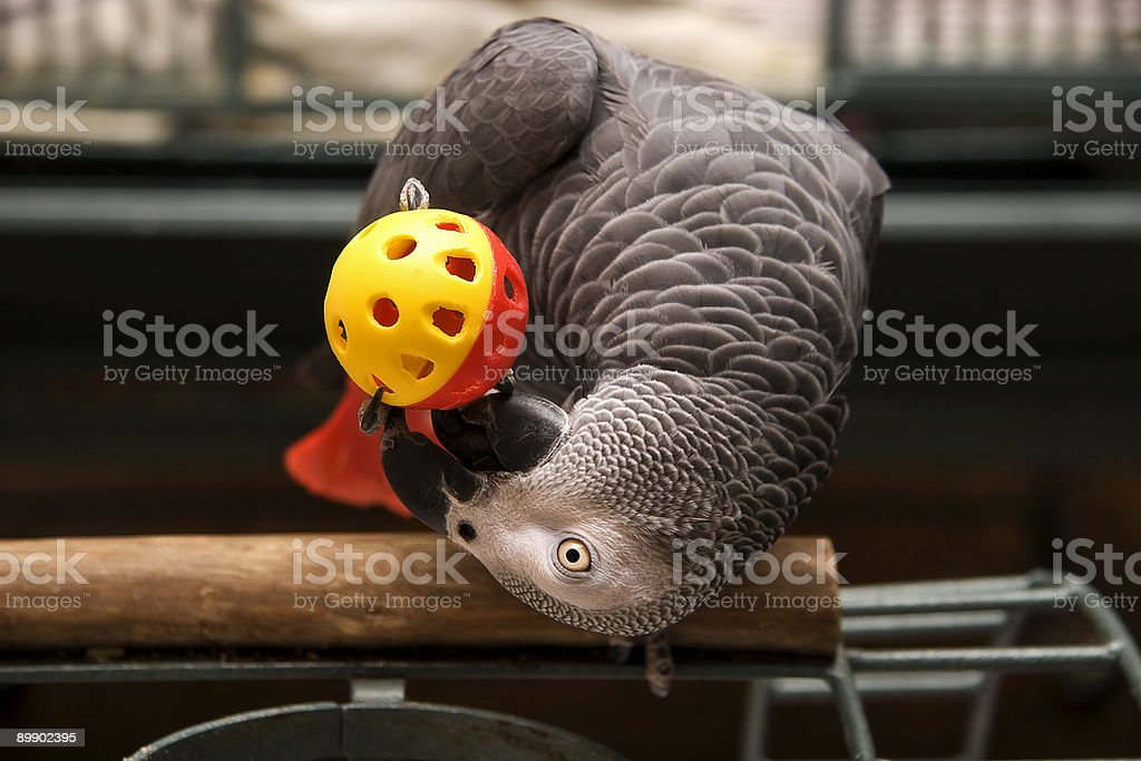 African Grey Playing stock photo