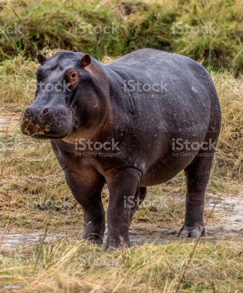 African Hippo stock photo