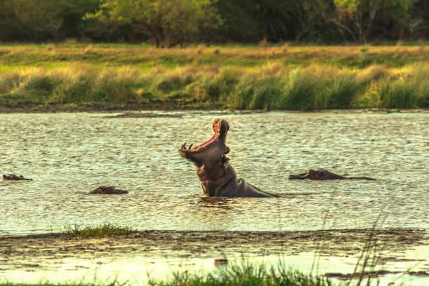 african hippopotamus angry - estuário imagens e fotografias de stock