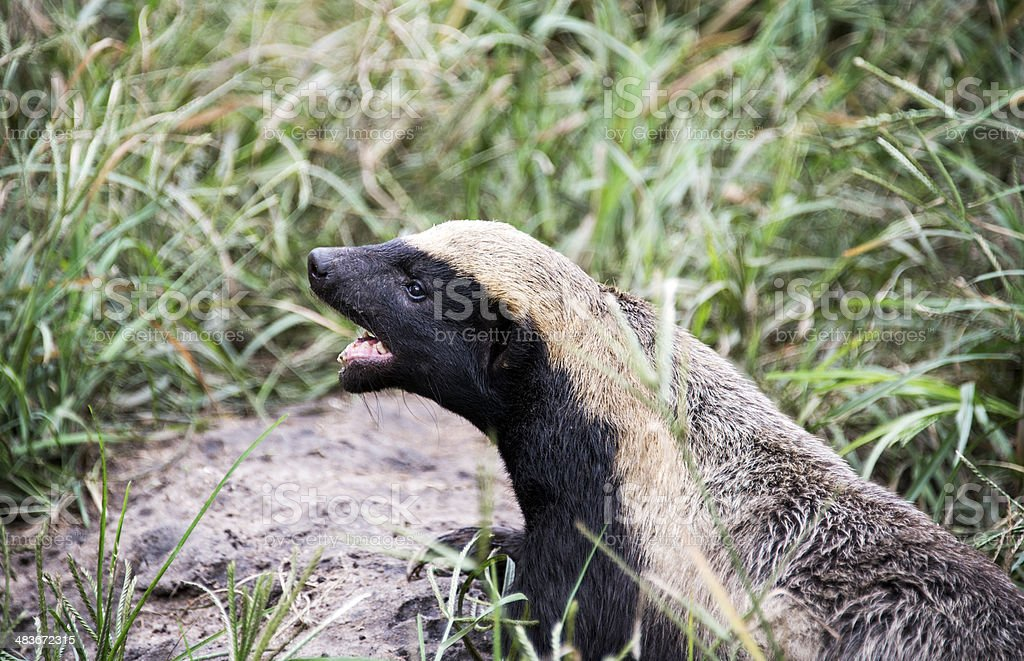 african honey ratel royalty-free stock photo
