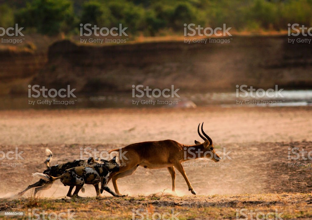 African Hunting Dogs attack a puku in south luangwa national park stock photo