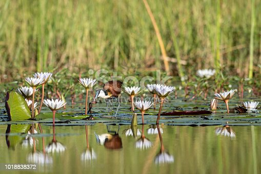 jacana hunting insects on lillypads