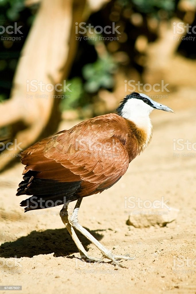 African jacana royalty-free stock photo