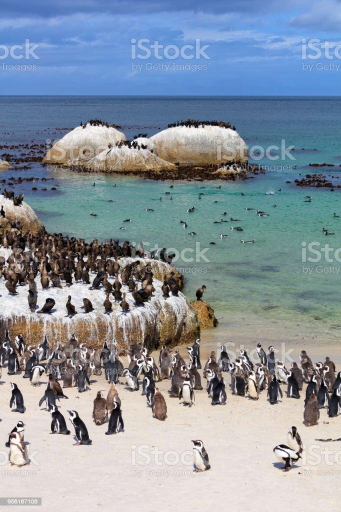 Afrikanischen Jackass Pinguine und Cape Kormorane Kolonie bei Boulders Bay in Südafrika – Foto