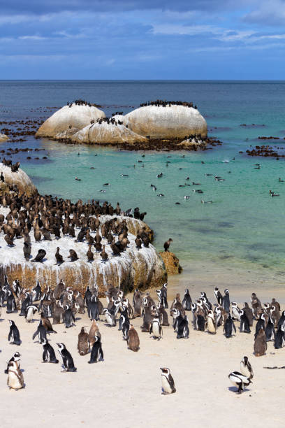 african jackass penguins and cape cormorants colony at boulders bay in south africa - table mountain national park stock pictures, royalty-free photos & images