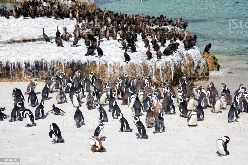 African Jackass Penguins and Cape Cormorants Colony at Boulders Bay in South Africa stock photo