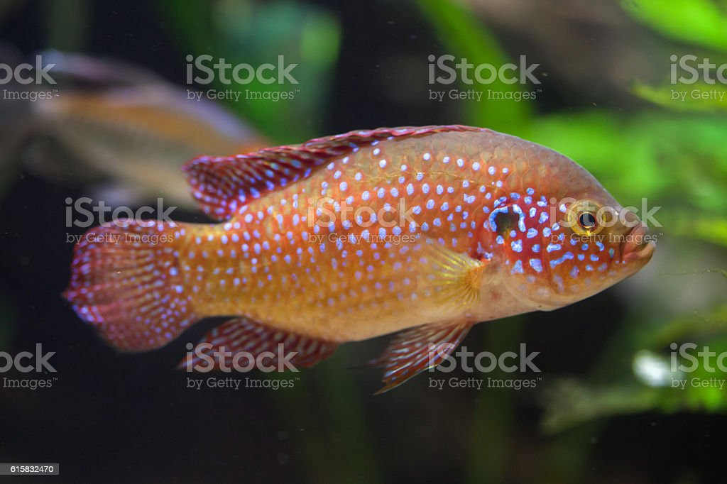 African jewelfish (Hemichromis bimaculatus). stock photo