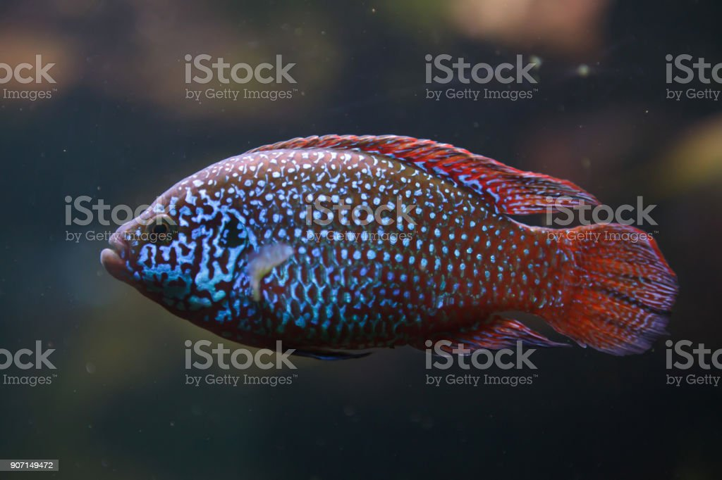 African jewelfish (Hemichromis letourneuxi) stock photo