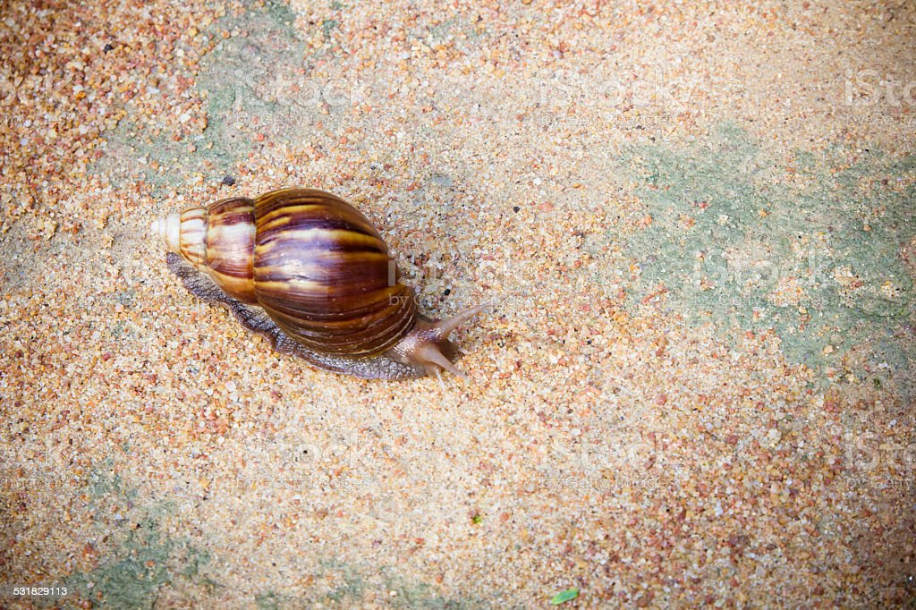 African land snail stock photo
