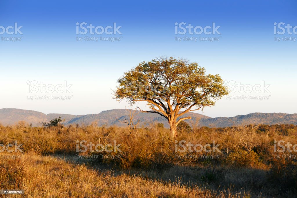 African landqscape  with  a marula tree in the Madikwe Game Reserve in South Africa stock photo