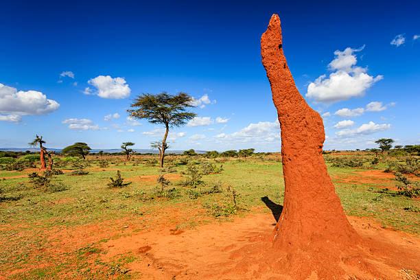 african landscape - termite mound and acicia trees, ethiopia - termietenheuvel stockfoto's en -beelden
