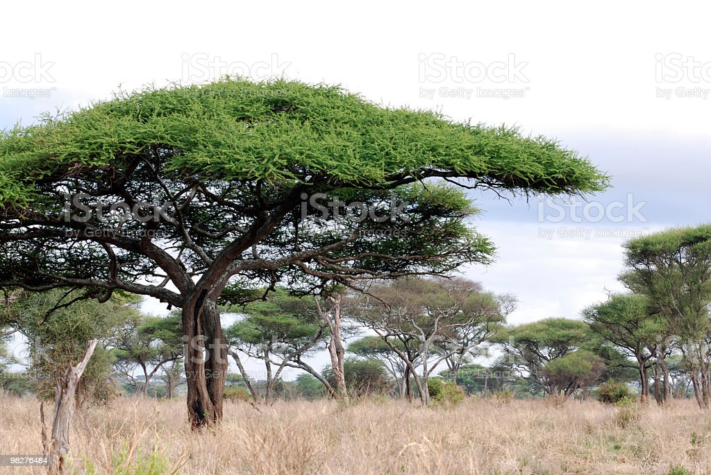 African landscape with acacia trees royalty-free stock photo