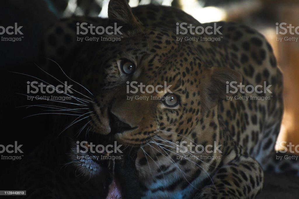 African Leopard Eating Meat (panthera pardus pardus) stock photo