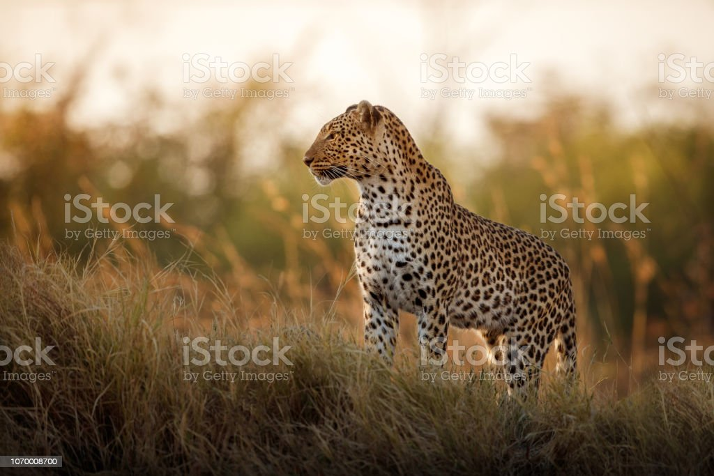 African leopard female pose in beautiful evening light. stock photo