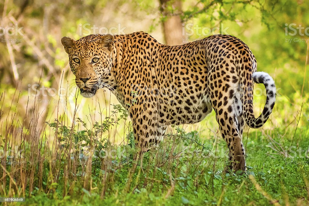African leopard in Kruger National Park, South Africa stock photo