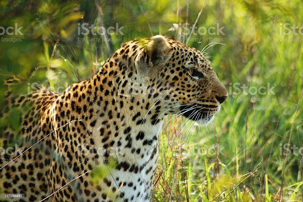 African leopard royalty-free stock photo