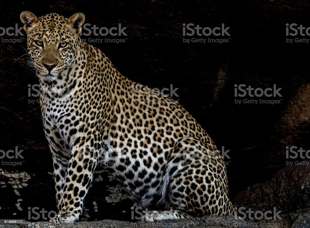 African Leopard stock photo
