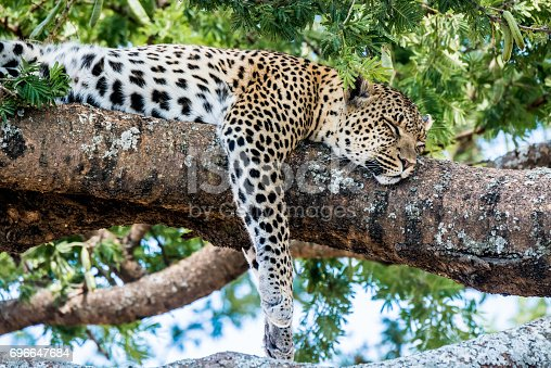 African leopard rests in tree