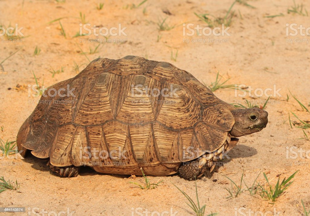 African Leopard Tortoise (Stigmochelys pardalis) on the dry african plains foto stock royalty-free