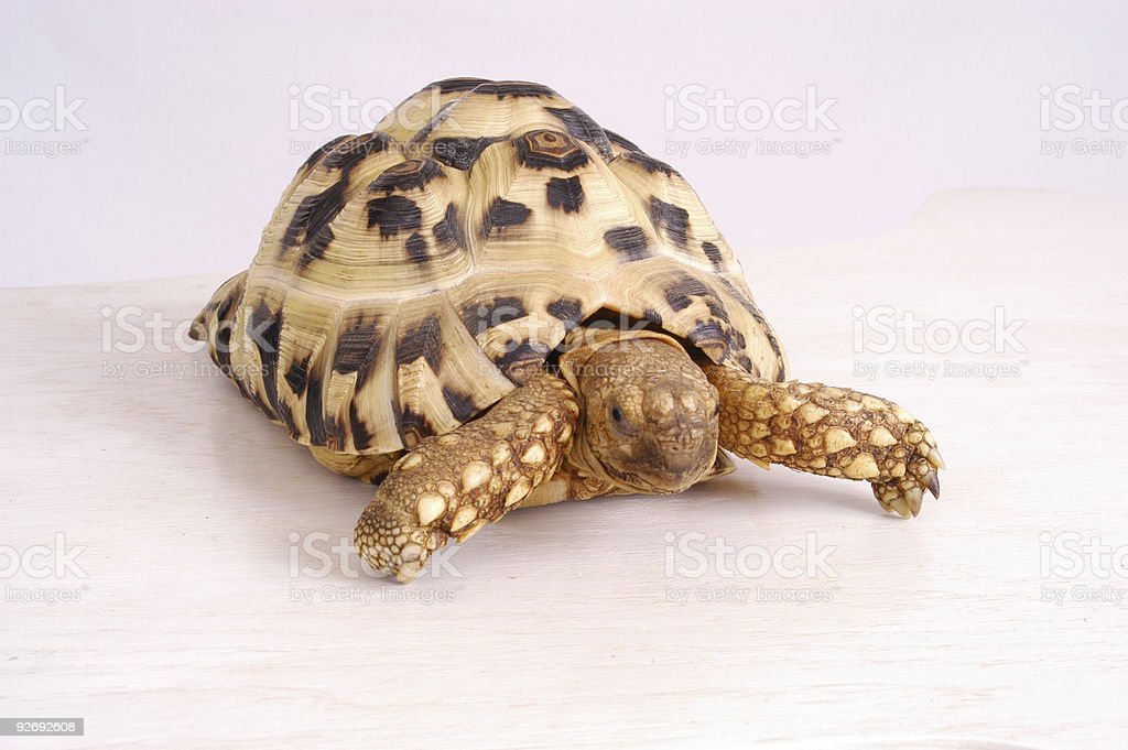African Leopard Tortoise royalty-free stock photo