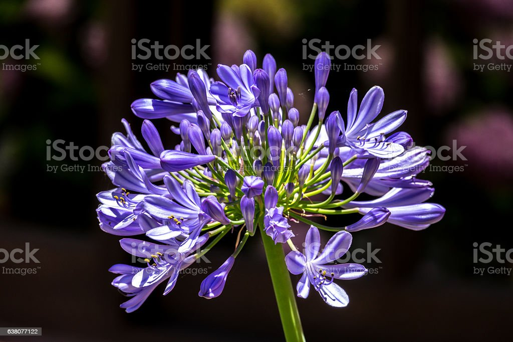 African lily, Agapanthus africanus, flower of the Agapanthaceae stock photo