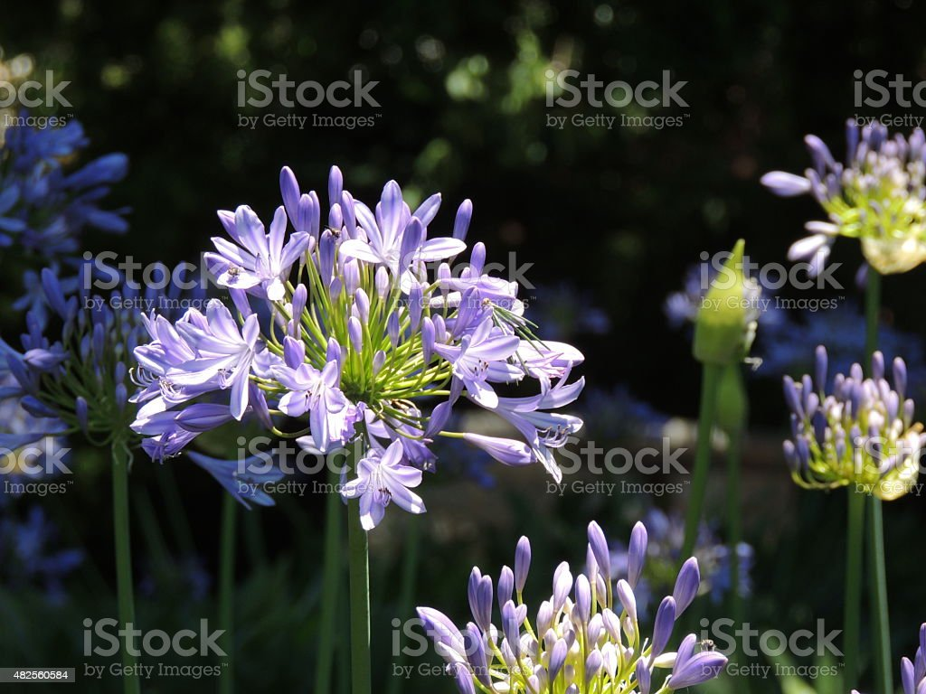 African lily of Agapanthus flowers. stock photo