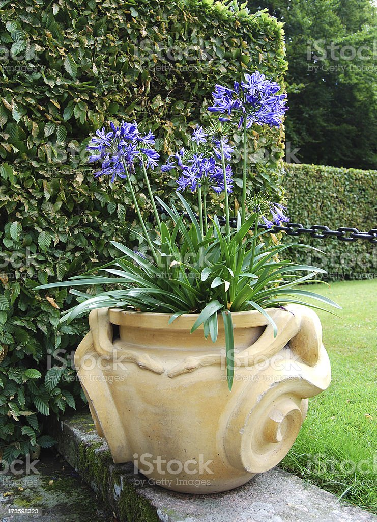 African lily or blue Agapanthus in vase stock photo