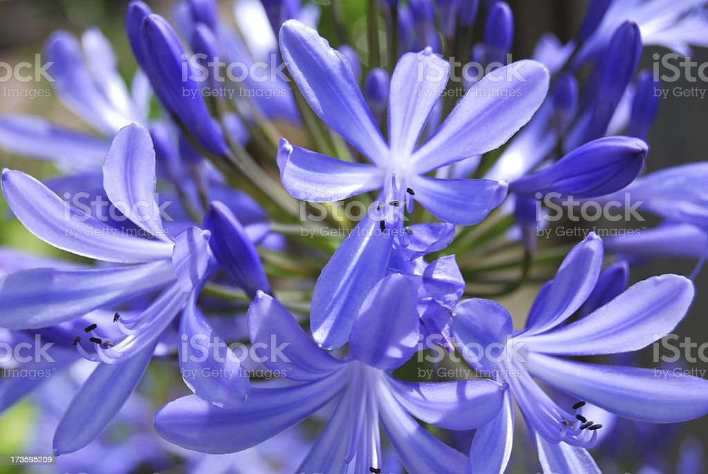 African lily or blue Agapanthus stock photo