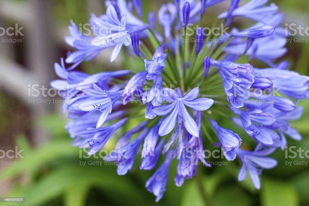 African Lily stock photo