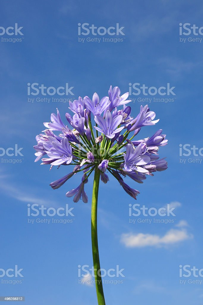 African lily (Agapanthus africanus) stock photo
