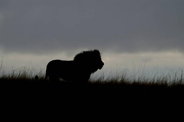 African lion at dusk picture id487609821?b=1&k=6&m=487609821&s=612x612&w=0&h=si14lcv8dhevlod1ndlvsido16u56lg7yfcwz6zqyf8=