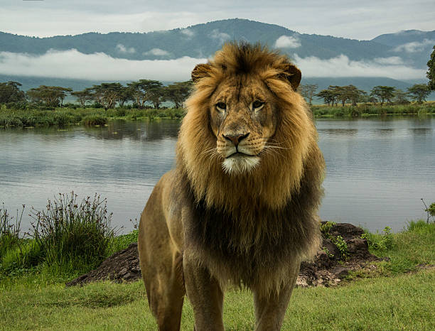 African lion at lake in Serengeti  African lion at lake in Serengeti of Tanzania, Africa ngorongoro conservation area stock pictures, royalty-free photos & images