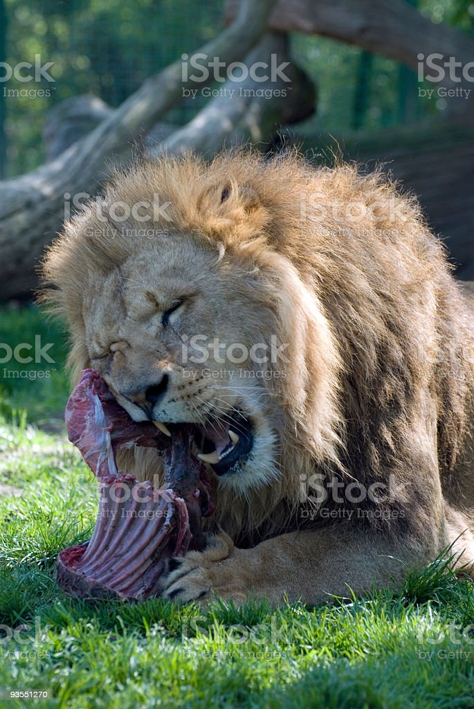 African Lion at Meal Time royalty-free stock photo