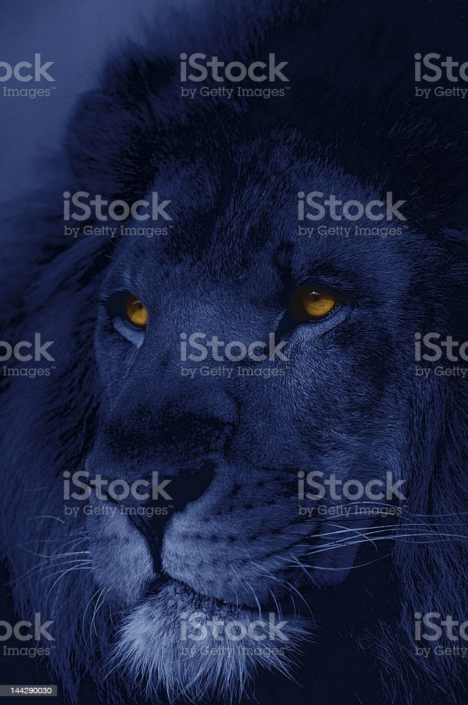 African lion at night stock photo