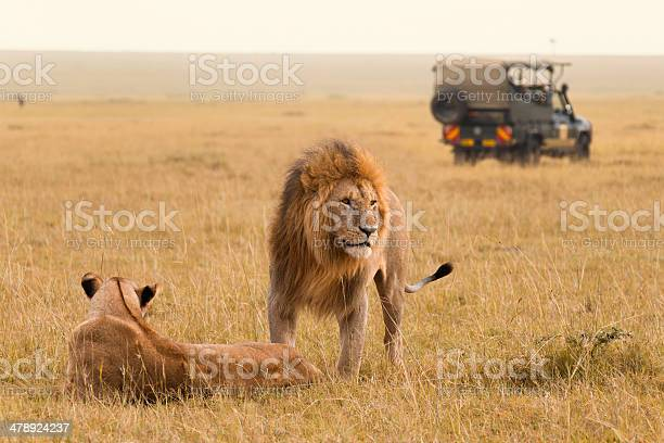 African lion couple and safari jeep picture id478924237?b=1&k=6&m=478924237&s=612x612&h=0 3w7ifcqspflozsx2541owo2rweehqdeez4lo usam=