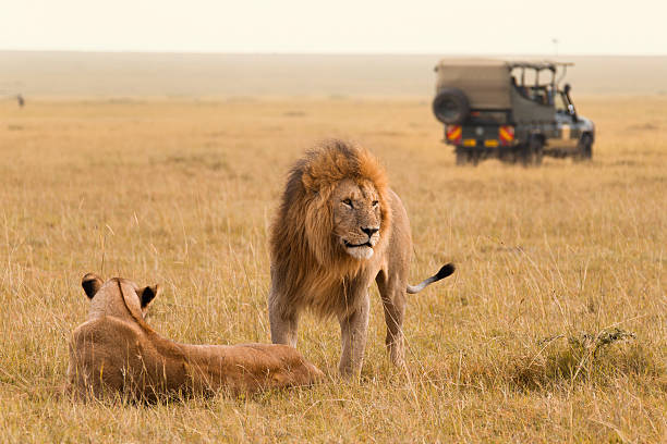 african lion couple and safari jeep - safari stock photos and pictures