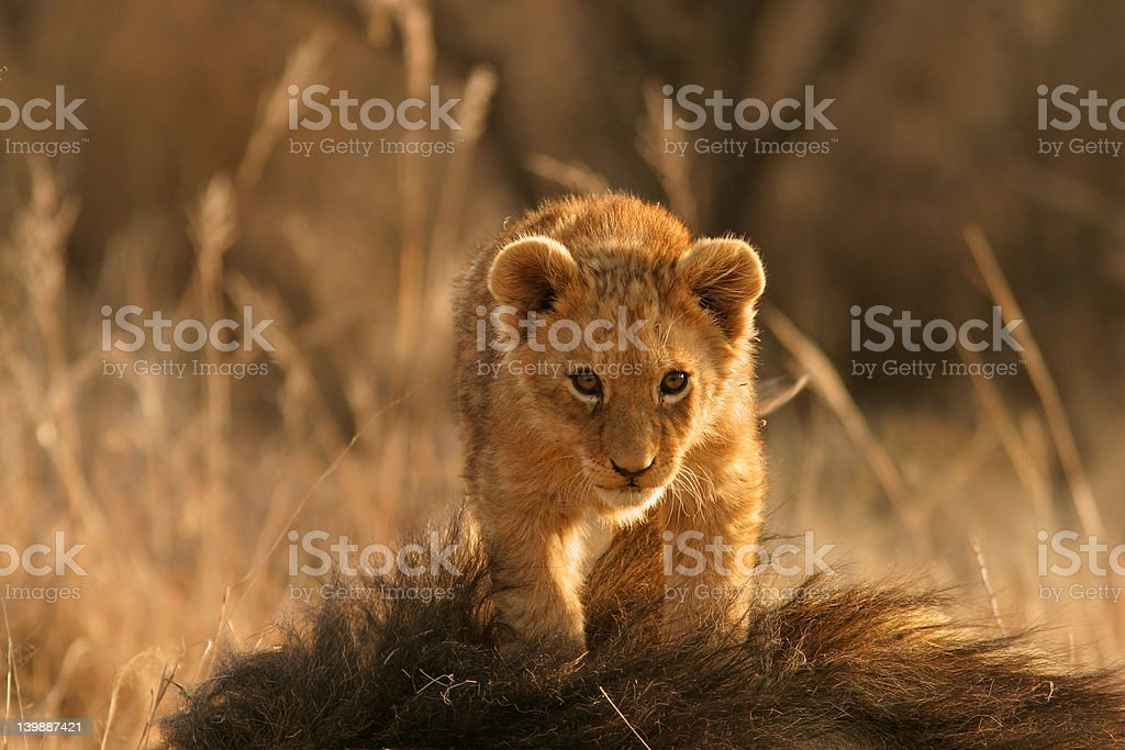 African lion cub royalty-free stock photo